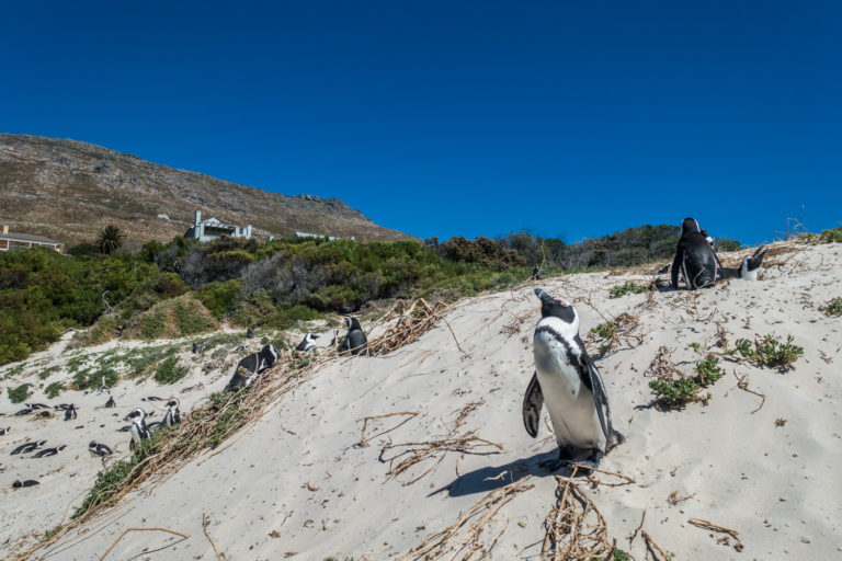 The penguins at Foxy Beach love to pose